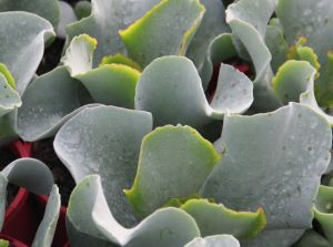 cotyledon silver waves 3