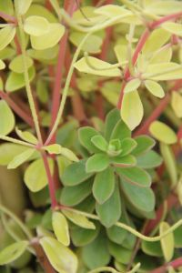 pepperomia soft leaf (1)
