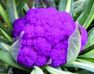 CAULI PURPLE 1