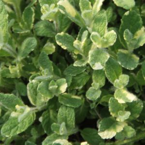 Mint - variegated apple mint