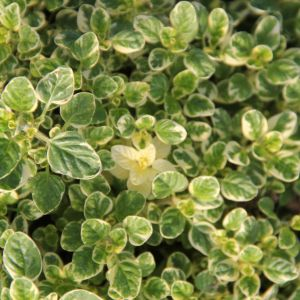 Oregano - variegated