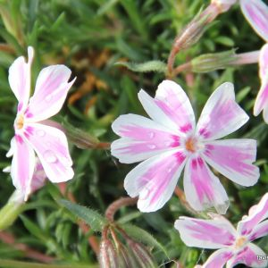 Phlox pink and white