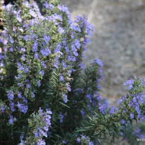 Rosemary - blue lagoon