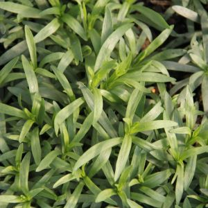 Tarragon - french