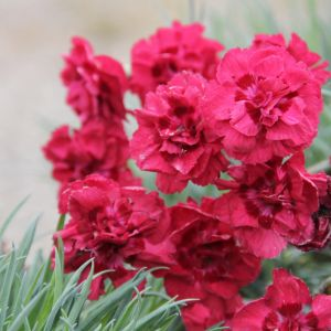 dianthus rose joy (2)