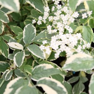 Elderberry tree variegated