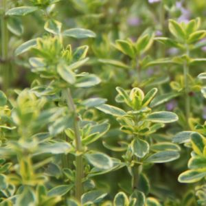 Thyme -  lemon - variegated golden