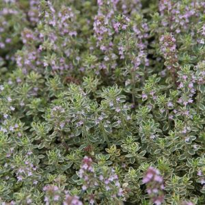 Thyme - variegated lemon silver