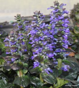 AJUGA CATLINS GIANT (3)