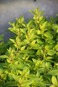 Marjoram - golden