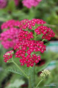 Yarrow - red
