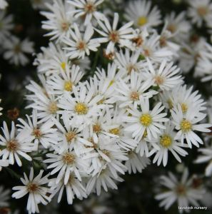 aster- old fashioned white english easter daisy