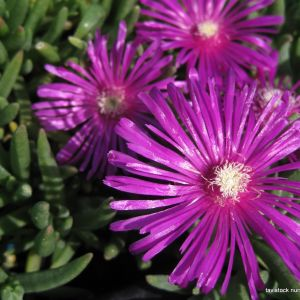 mesembryanthemum purple