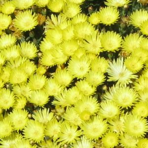 mesembryanthemum yellow