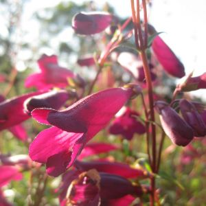 Penstemon blackbird