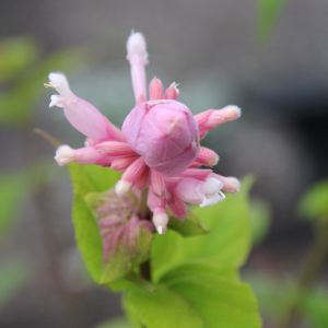 Salvia pink icycles